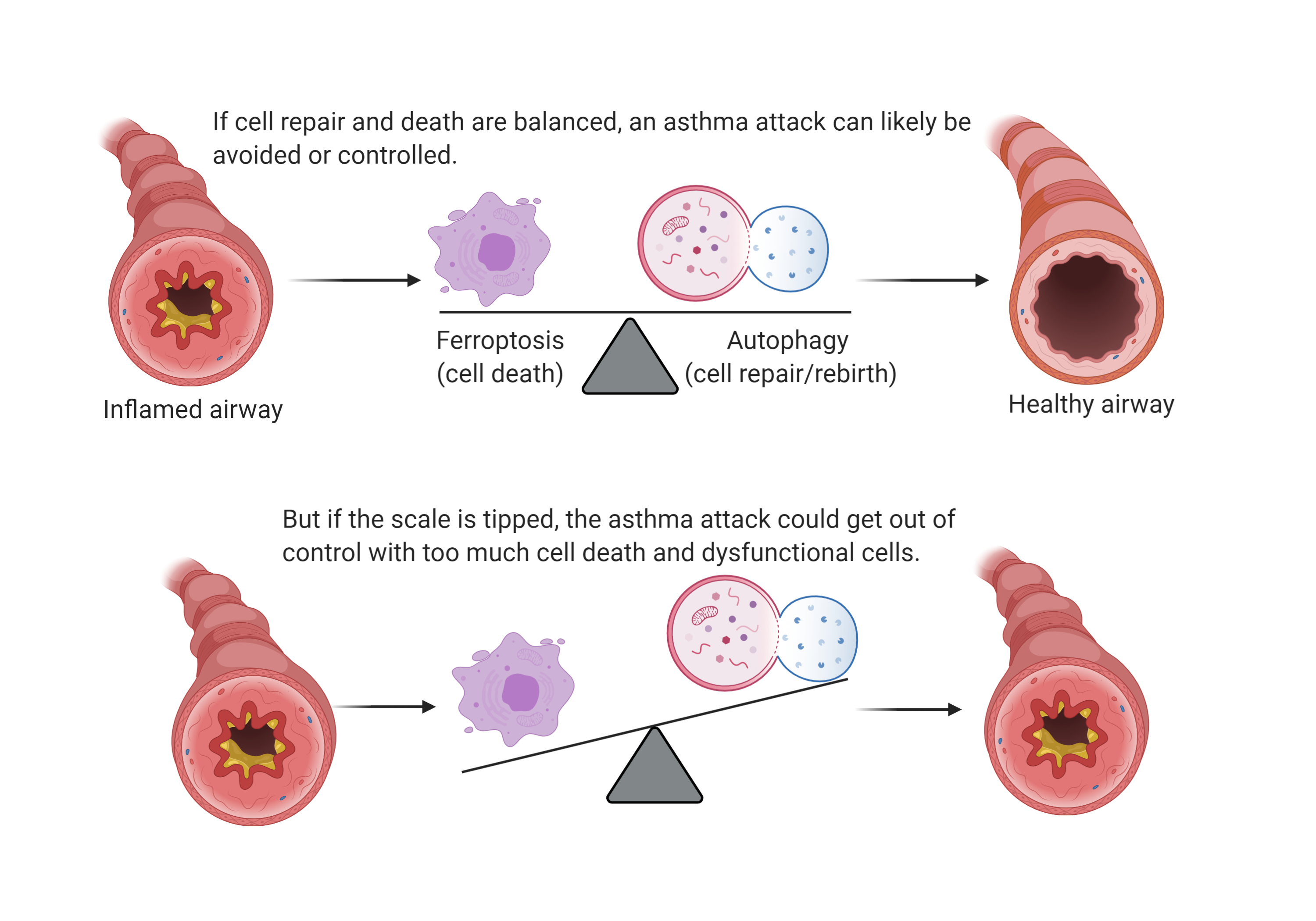 Diagram detailing the balance of cell death compared to cell repair and its link to inflamed and healthy airways.